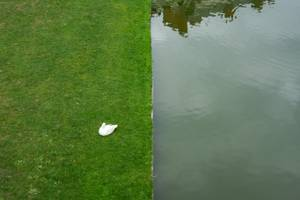 Swan, lawn and water