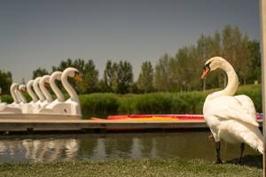 A swan and swan pedalos